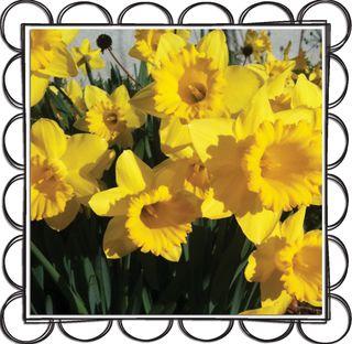 Daffodils-3